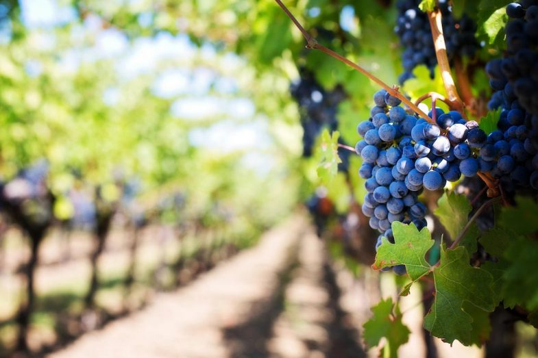 Promoting Community - grapes and vineyard