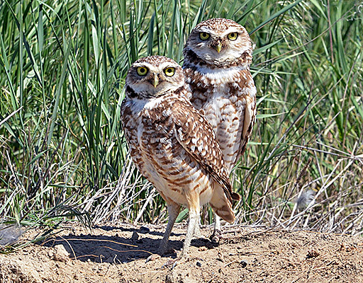 burrowing owls - US Fish & Wildlife Service