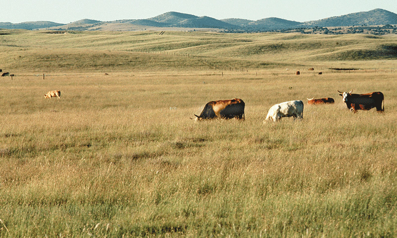grazing cows NRCS Arizona