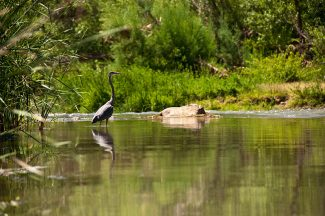 Blue Heron on the Verde River