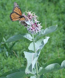 Monarch butterflies need milkweed at all stages of development