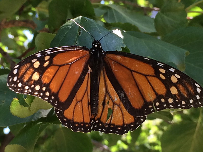Monarch Butterfly Photo by Kate Watters