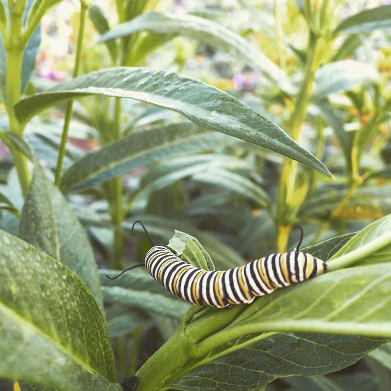 Monarch Larvae Photo by Kate Watters