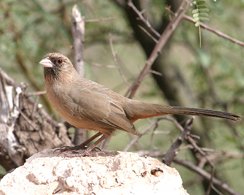 Abert's Towhee - Doug Von Gausig, Critical Eye Photography