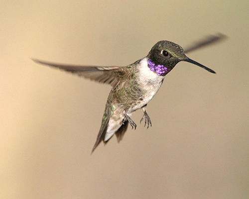 Black Chinned Hummingbird - Doug Von Gausig, Critical Eye Photography
