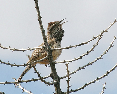 Cactus Wren - Doug Von Gausig, Critical Eye Photography