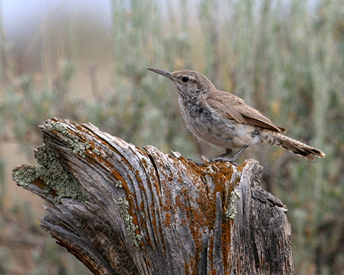 Rock Wren - Doug Von Gausig, Critical Eye Photography