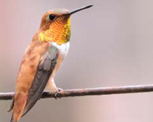 Rufous Hummingbird - Max Castillo