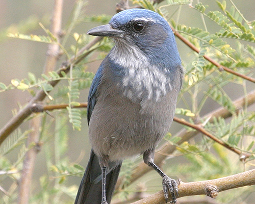 Scrub Jay - Doug Von Gausig, Critical Eye Photography