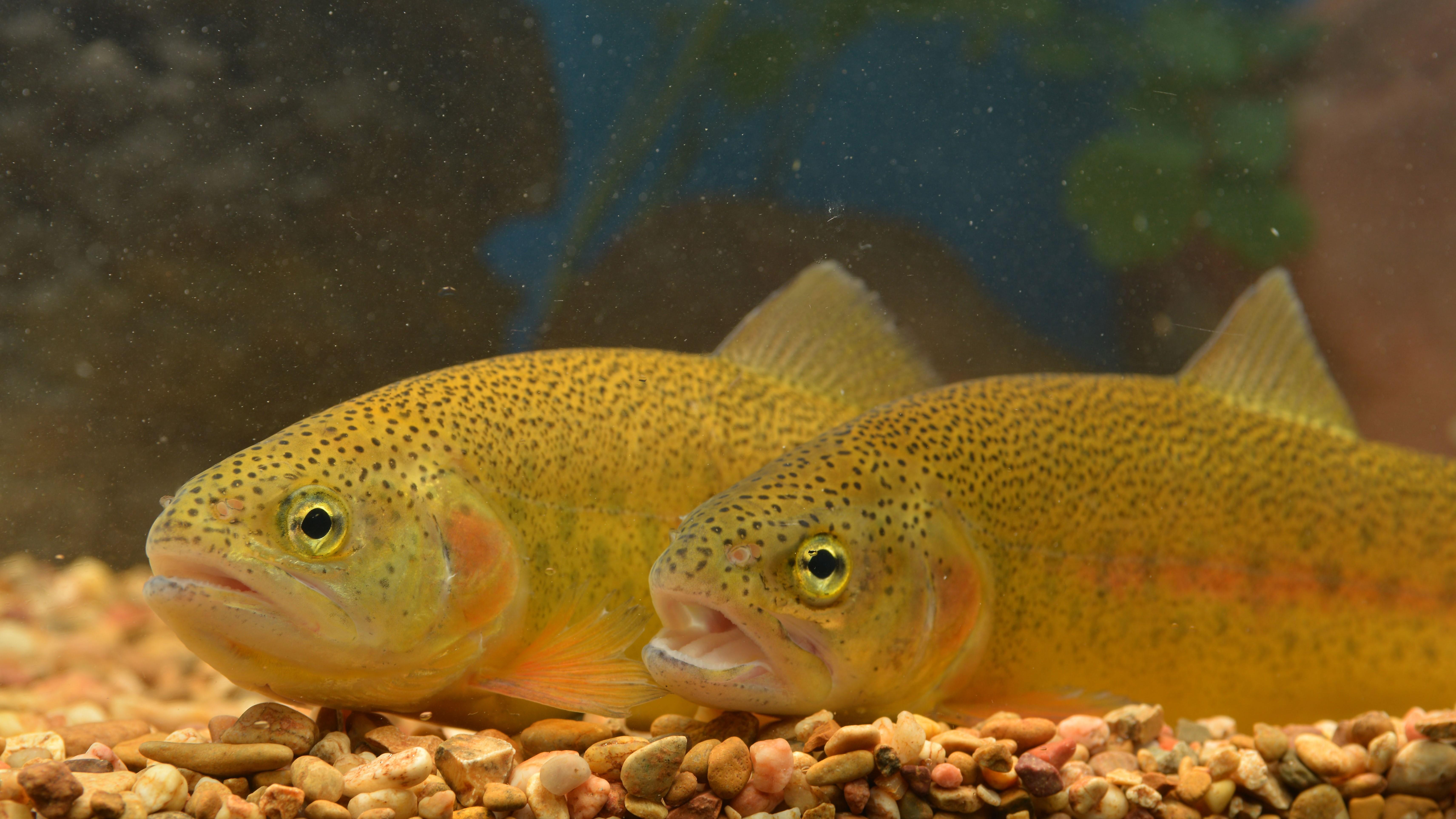 gila trout in oak creek friends of the verde river